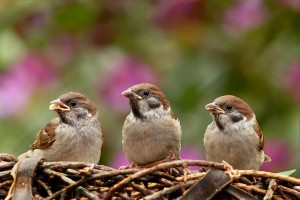 bird-sparrows