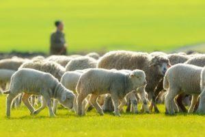 God Leads Like a Shepherd